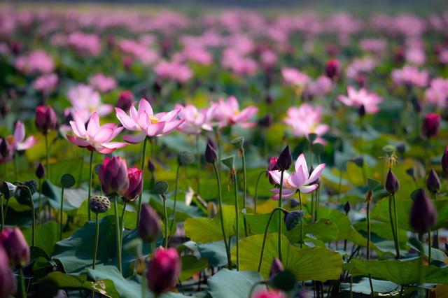 Đẹp mê mẩn hồ sen Điện An của Quảng Nam - Ảnh 7.