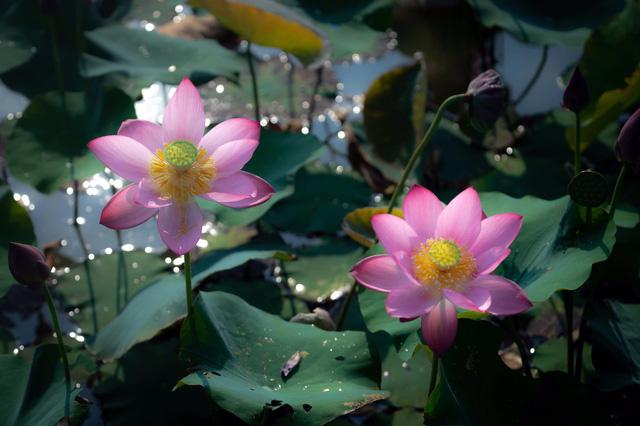 Đẹp mê mẩn hồ sen Điện An của Quảng Nam - Ảnh 6.