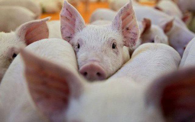 Hạ nhiệt sau nhiều ngày cố thủ: Thịt lợn giá rẻ sắp không chỉ còn có trên tivi - ảnh 1