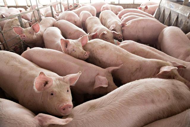 Nhập khẩu lợn sống, kỳ vọng giá lợn trong nước sẽ giảm - ảnh 1