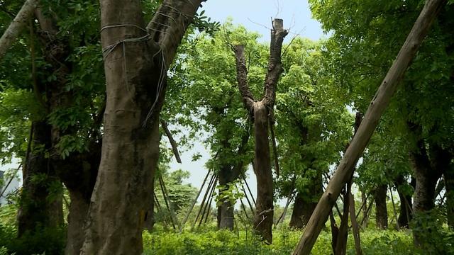 Đánh chuyển hơn 100 cây xanh trên đường Kim Mã: Cứ thế là... xong? - Ảnh 7.