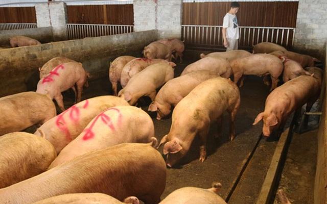 Nguồn lợn thịt Thái Lan còn ít: Không nên kỳ vọng giá lợn giảm mạnh - ảnh 1