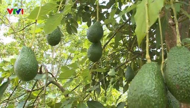 Tây Nguyên chuyển đổi trồng cây ăn quả thay cây công nghiệp - Ảnh 1.
