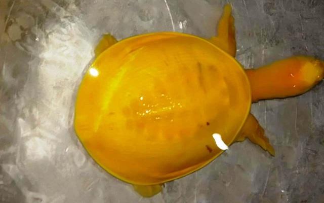 Phát hiện rùa toàn thân màu vàng tươi vô cùng quý hiếm ở Ấn Độ - ảnh 1