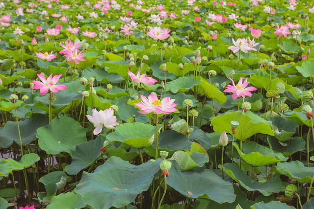 Hồ sen Hang Múa thu hút khách du lịch - Ảnh 1.