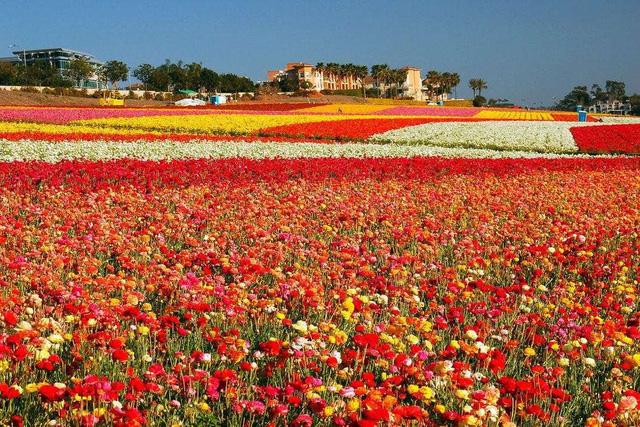 Ngất ngây, 10 cánh đồng hoa đẹp nhất thế giới - ảnh 8