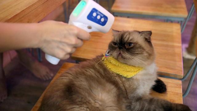 Mèo - Vật nuôi đầu tiên nhiễm virus SARS-CoV-2 tại Anh - Ảnh 1.