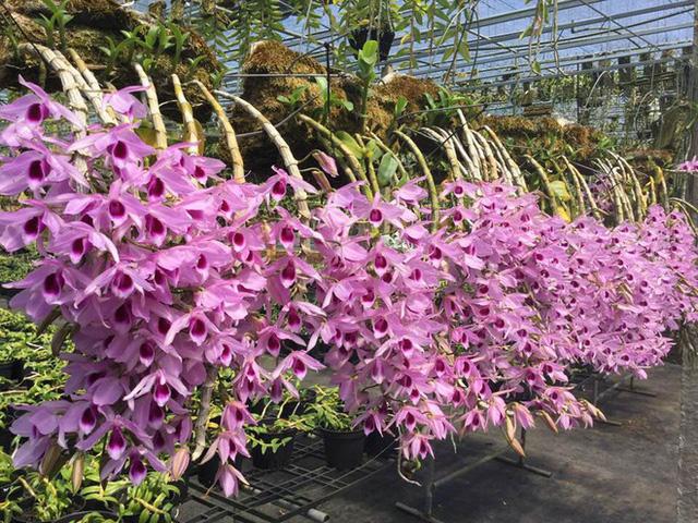 Mê Lan - Thương hiệu uy tín dành cho tín đồ thích trồng hoa lan - Ảnh 2.