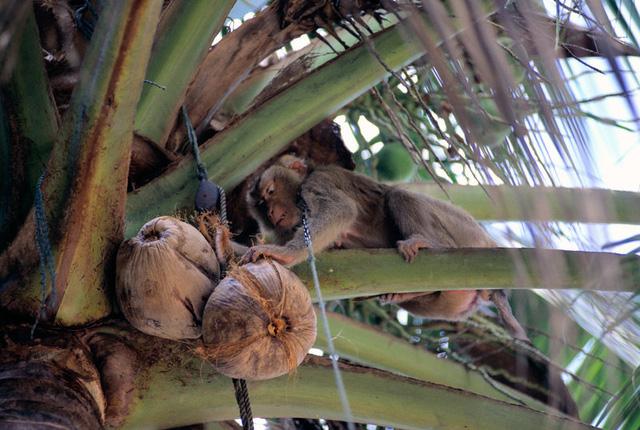 Thái Lan bác bỏ cáo buộc ngược đãi, bắt ép khỉ hái dừa - Ảnh 1.