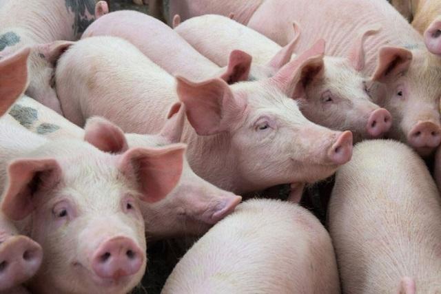 Nhập từ Thái Lan nhỏ giọt, giá lợn hơi trong nước bất động - Ảnh 1.