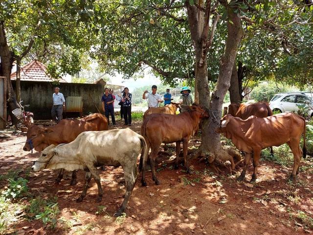 Trao bò giống sinh sản cho hộ đồng bào thiểu số nghèo - Ảnh 1.