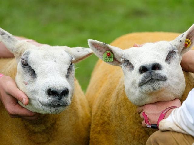 Hơn 11,3 tỷ VNĐ cho Chú cừu đắt nhất thế giới - ảnh 1