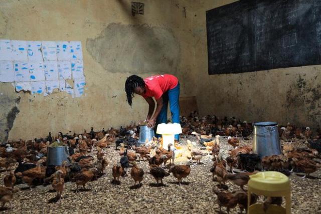 Trường học đóng cửa do COVID-19, giáo viên nuôi gà trong lớp - Ảnh 3.