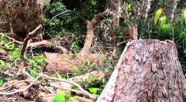 Kiểm tra, xử lý nghiêm các vụ phá rừng ở Phú Yên - Ảnh 1.