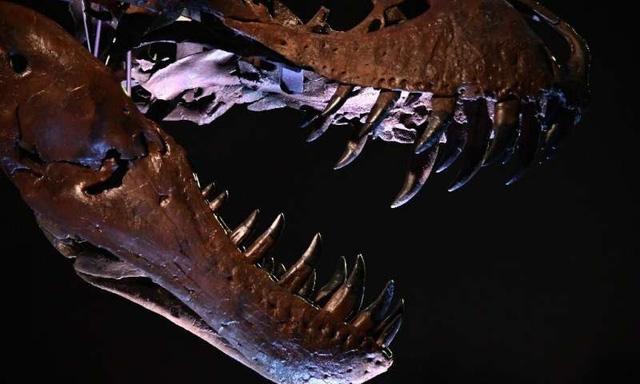 Bộ xương khủng long bạo chúa lớn nhất thế giới ra đấu giá - ảnh 2