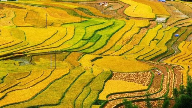 Mãn nhãn cảnh đẹp hùng vĩ của mùa vàng Mù Cang Chải - Ảnh 11.