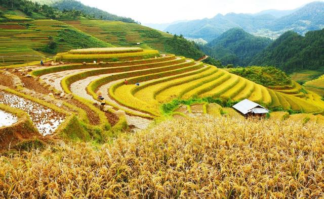 Mãn nhãn cảnh đẹp hùng vĩ của mùa vàng Mù Cang Chải - Ảnh 7.