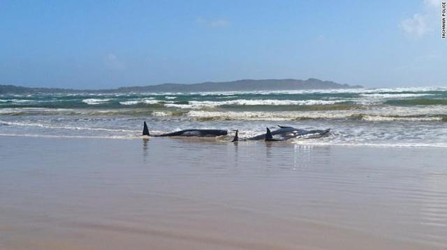 Hàng trăm con cá voi bị mắc cạn tại Australia, ít nhất 90 cá thể đã chết - Ảnh 1.