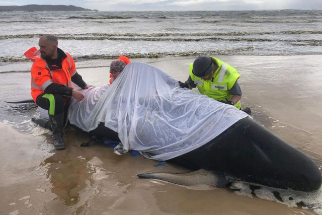 Ngoạn mục, pha giải cứu hàng trăm cá voi mắc cạn ở Australia - Ảnh 2.