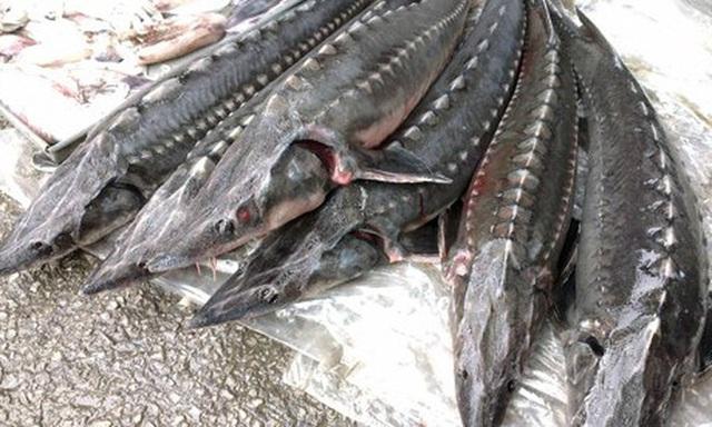Tràn lan cá tầm lậu ở chợ đầu mối Hà Nội và TP Hồ Chí Minh - Ảnh 1.