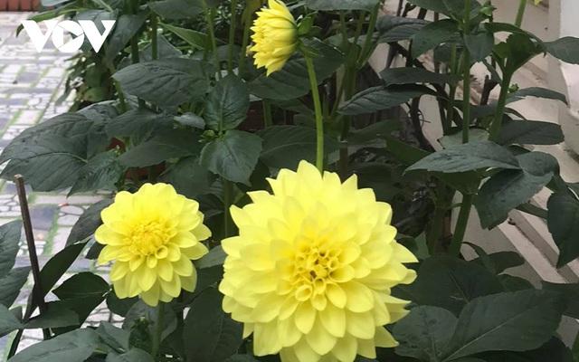 Những loại hoa chơi Tết dành cho... nhà nghèo - ảnh 6