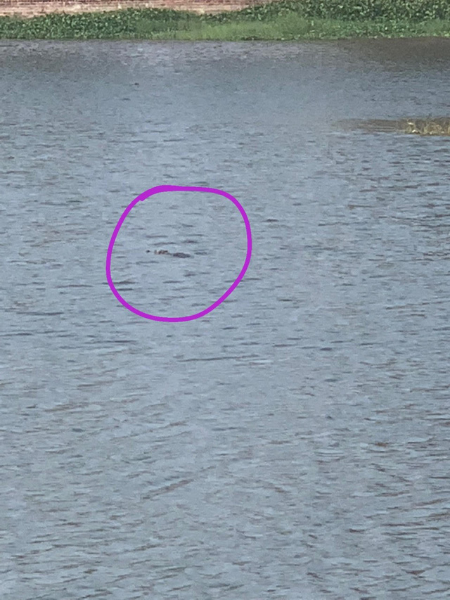 Nghi cá sấu bơi giữa hồ nước ở Vũng Tàu - Ảnh 1.