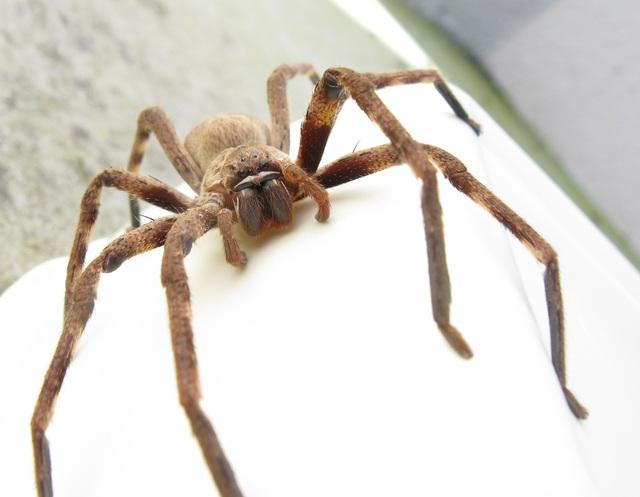 Hú vía, nhện độc khổng lồ xuất hiện ở nhà nghỉ - Ảnh 3.