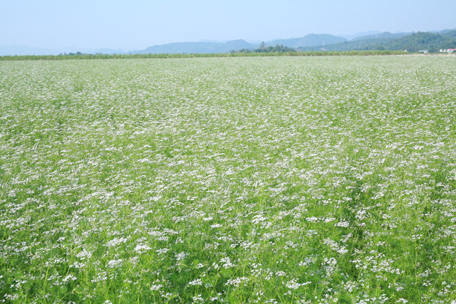 Mãn nhãn với cánh đồng mùi già rộng lớn nhất Việt Nam - Ảnh 1.