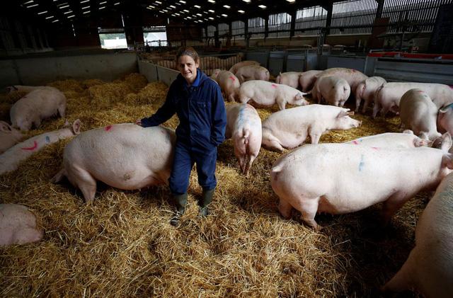 Ngành công nghiệp thịt lợn Anh đối diện nguy cơ sụp đổ - ảnh 1