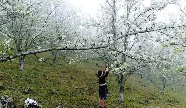Quyến rũ mùa hoa lê ở vùng cao Tuyên Quang - Ảnh 3.