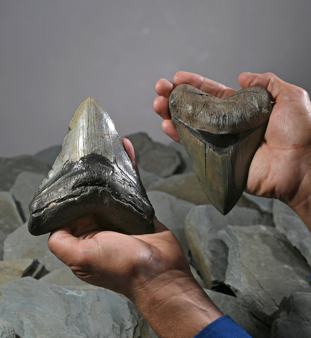 Hóa thạch răng cá mập khủng nặng 1,3 kg và dài 17 cm - ảnh 1