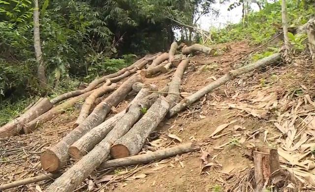 Ngang nhiên chuyển rừng tự nhiên thành rừng trồng tại vườn quốc gia Xuân Sơn - Ảnh 1.