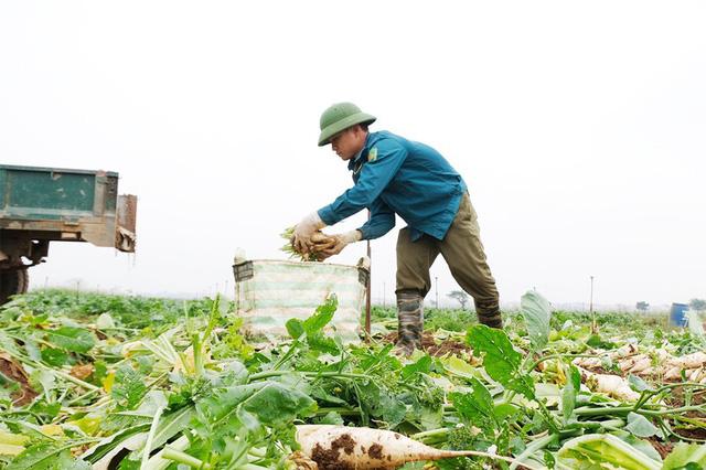 Người dân Hà Nội đổ bỏ hàng tấn nông sản vì không có đầu ra - Ảnh 1.