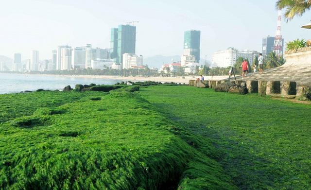 Mê mẩn thảm rêu xanh ấn tượng ở biển Nha Trang - Ảnh 1.