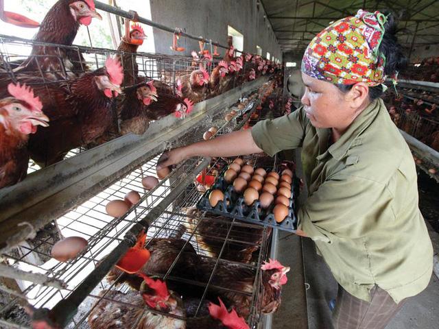 Giá thức ăn chăn nuôi tăng vọt: Doanh nghiệp, người nông dân lao đao - ảnh 2