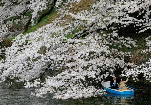 Hoa anh đào Nhật Bản bung nở rực rỡ, đẹp đến choáng ngợp - Ảnh 1.