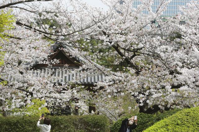Hoa anh đào Nhật Bản bung nở rực rỡ, đẹp đến choáng ngợp - Ảnh 5.