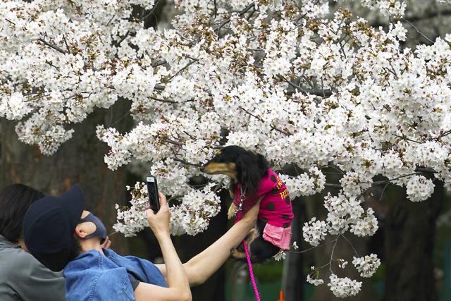 Hoa anh đào Nhật Bản bung nở rực rỡ, đẹp đến choáng ngợp - Ảnh 6.