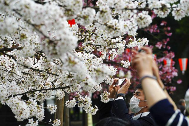 Hoa anh đào Nhật Bản bung nở rực rỡ, đẹp đến choáng ngợp - Ảnh 7.