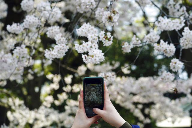 Hoa anh đào Nhật Bản bung nở rực rỡ, đẹp đến choáng ngợp - Ảnh 9.