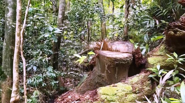Phát hiện chiêu thức phá rừng thủ đoạn mới - Ảnh 1.