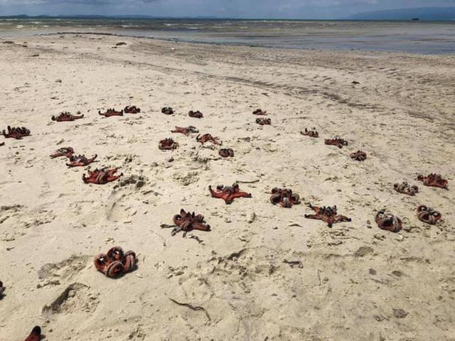 Sao biển Phú Quốc chết khô vì du khách sống ảo - Ảnh 1.