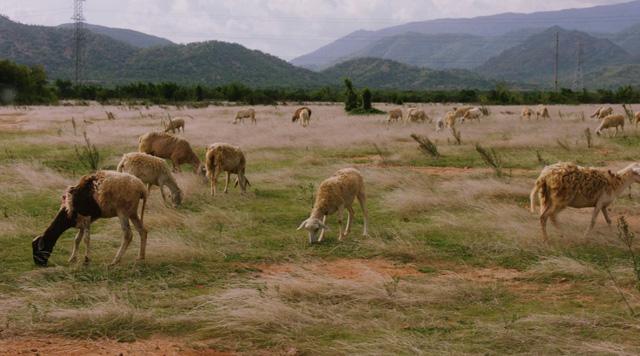 Đen Vâu sắp ra MV mới, toàn cừu, cào cào và cây cỏ - Ảnh 1.