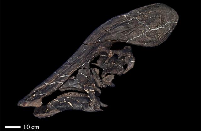 Phát hiện hóa thạch 72 triệu năm của khủng long mỏ vịt có mào dài hơn 1,3 m - ảnh 2