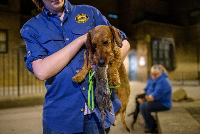 Biệt đội chó diệt chuột dũng cảm tại New York - ảnh 2
