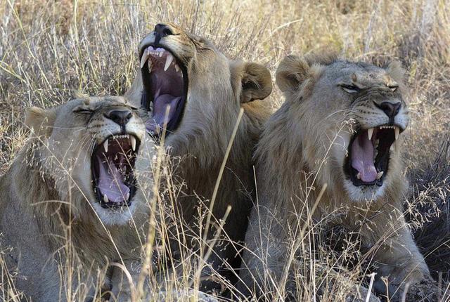 Nam Phi hướng tới cấm nuôi nhốt sư tử để kinh doanh du lịch - Ảnh 1.