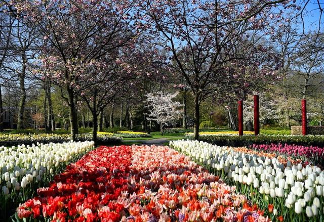 Choáng ngợp trước hàng triệu bông tulip vào mùa nở rộ ở Hà Lan - ảnh 1