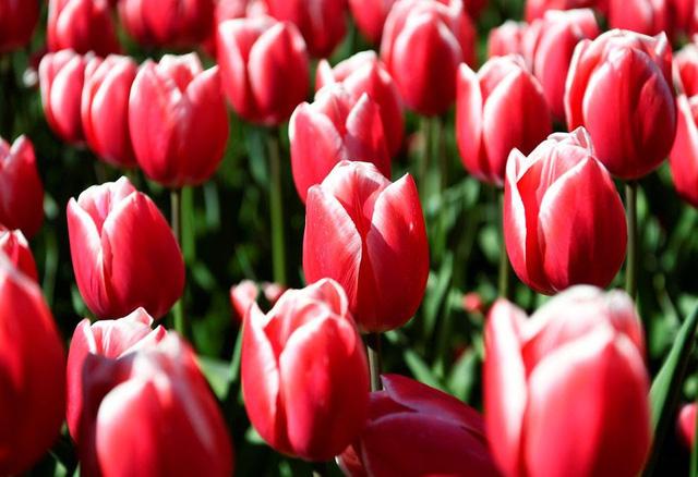 Choáng ngợp trước hàng triệu bông tulip vào mùa nở rộ ở Hà Lan - ảnh 2