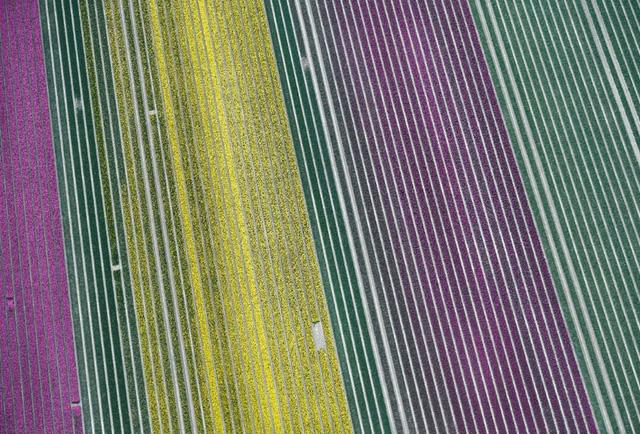 Choáng ngợp trước hàng triệu bông tulip vào mùa nở rộ ở Hà Lan - ảnh 3