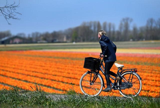 Choáng ngợp trước hàng triệu bông tulip vào mùa nở rộ ở Hà Lan - ảnh 5